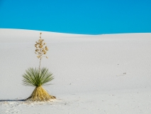 Plant in White sands national monument US