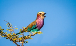 Lilac breasted roller, Namibië
