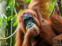 Orang-Oetan moeder close up, Sumatra