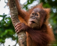 Orang-Oetan close up, Sumatra