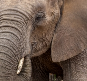 Olfant close up, Zuid-Afrika