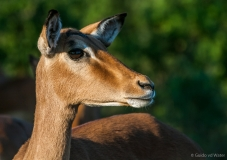 Impala close up, Zuid-Afrika