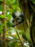 Thomas leaf monkey, Sumatra